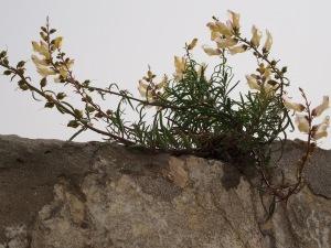 Growing in the cracks of David's Citadel