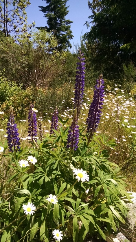 Wildflower meadow near Port Townsend. A nice place for happy thoughts.
